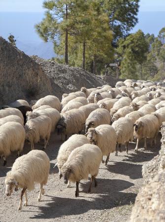 Gran Canaria, marzo - el rebaño de ovejas se mueve entre pastos en las montañas, a lo largo de una ruta de senderismo