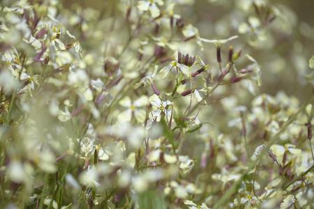 Flora of Gran Canaria - Raphanus raphanistrum AKA wild radish, white charlock  or jointed charlock