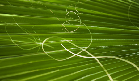 fan palm tree leaf natural floral abstract background Stock Photo