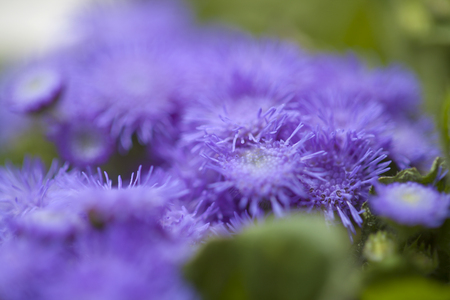 Ageratum conyzoides, billygoat-weed natural macro background Reklamní fotografie