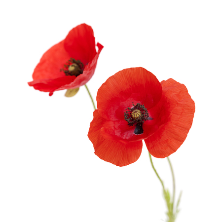 open red poppy flowers isolated on white background
