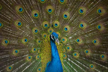 male peacock, Pavo cristatus, displaying