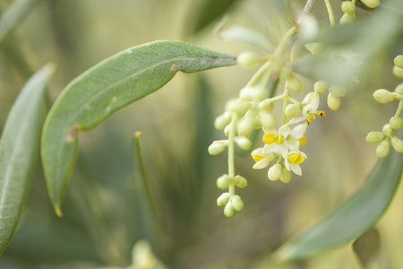 olive trees starting to flower natural macro background Stok Fotoğraf - 101187927