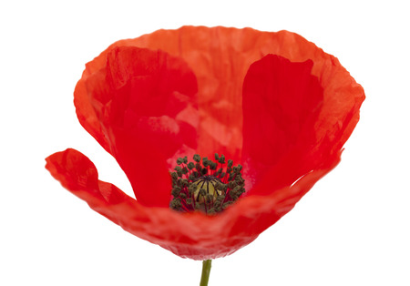 Flora of Gran Canaria - field poppy isolated on white background Stock Photo