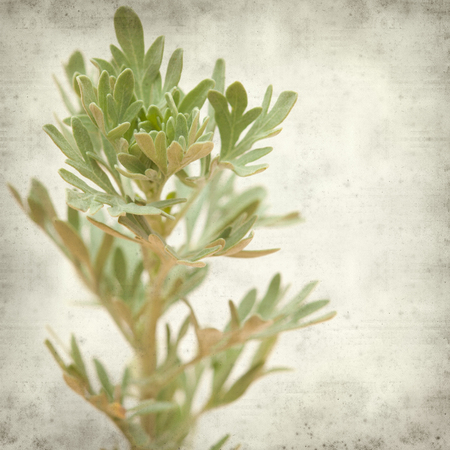 textured old paper background with Artemisia thuscula, wormwood endemic to Canary Islands