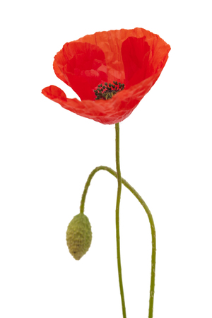 Flora of Gran Canaria - field poppy isolated on white background Stock Photo - 102696534