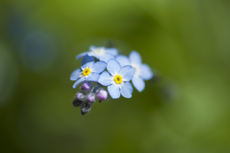 Flora of Gran Canaria -  Myosotis latifolia, broadleaf forget-me-not Stock Photo - 103793997