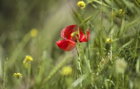 early summer floral macro background with red poppy