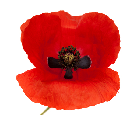 Flora of Gran Canaria -  field poppy isolated on white