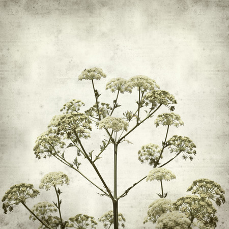 textured old paper background with  Todaroa montana, plant endemic to Canary Islands Imagens - 103841811