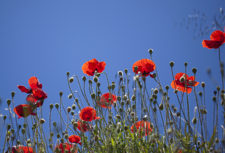 Flora of Gran Canaria - red poppies flower against blue sky Stock Photo