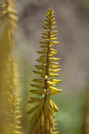 Aloe vera inflorescence, natural floral background