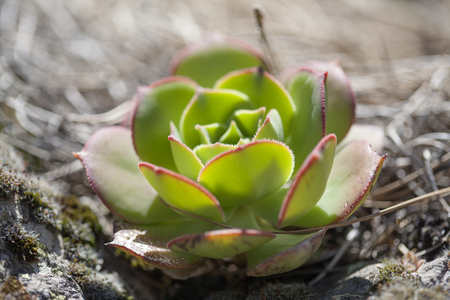 Flora of Gran Canaria -  small rosette of Aeonium percarneum, endemic to Gran Canaria