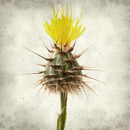 textured old paper background with  yellow Centaurea melitensis,  Maltese star-thistle Stockfoto