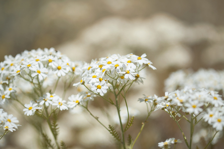 Flora of Gran Canaria - flowering Tanacetum ptarmiciflorum, silver tansy Stock Photo