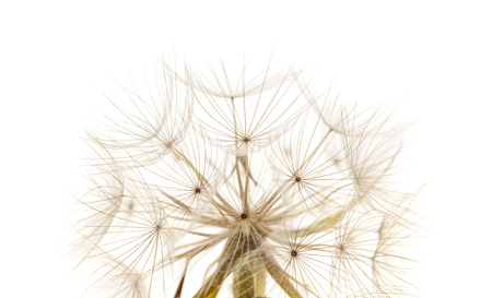 Flora of Gran Canaria -  Tragopogon, aka salsify seedhead isolated on white