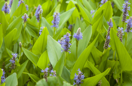 natural floral background of purple flowering pickerel weed Banco de Imagens