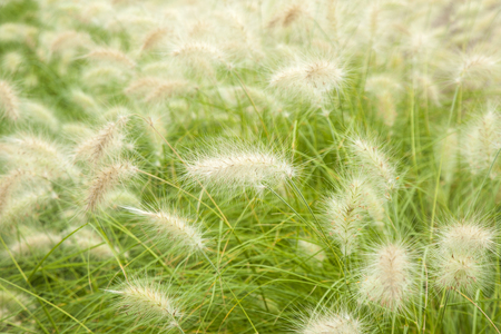 soft fluffy infloescences of fountain grass natural floral  background Stock Photo