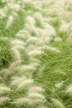 natural floral background of white fontain grass Stock Photo