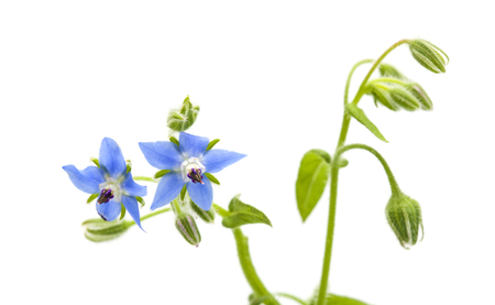 blue flowers of borage isolated on white background