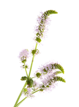 flowering mint isolated on white background