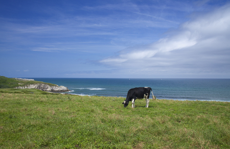 Cantabria, coastal landscape with black and white grazing cow