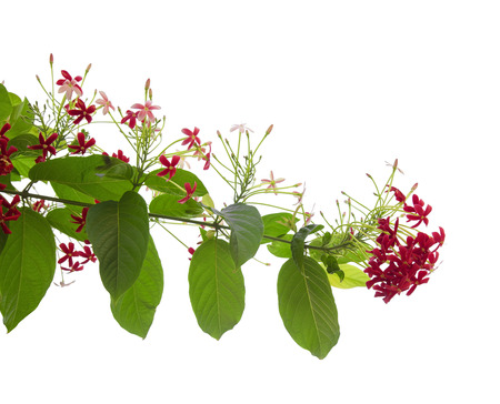 Beautiful dark red and pink flowers of Chinese honeysuckle isolated on white Banco de Imagens