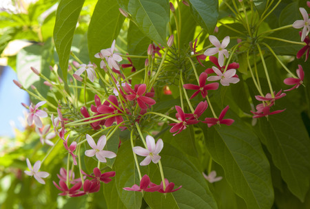 Beautiful dark red and pink flowers of Chinese honeysuckle background