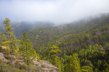 Gran Canaria,  nature park pine forest Tamadaba, reforested areas Stock Photo