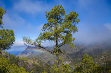 Gran Canaria,  nature park pine forest Tamadaba, view towards Faneque, the tallest over-the-sea cliff of Europe