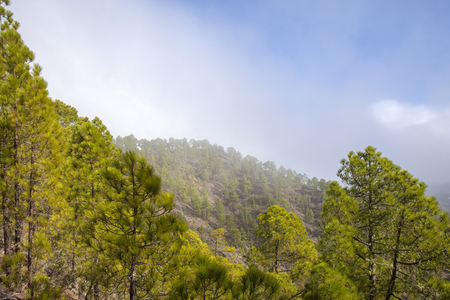 Gran Canaria,  nature park pine forest Tamadaba, reforested areas Фото со стока