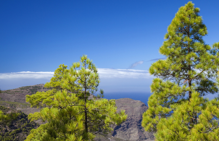 Gran Canaria,  nature park pine forest Tamadaba, the very top of Teide in Tenerife visible over the cloud front