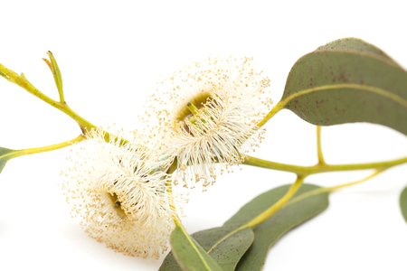 flora of Gran Canaria - flowers of Eucalyptus globulus, Tasmanian bluegum, isolated on white