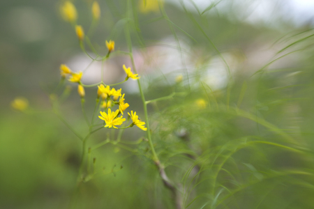 soft floral background with  fly-in in-camera effect -  Atalanthus pinnatus