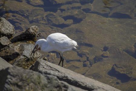 Little egret, Egretta garzetta, hunting in the marina of Las Palmas de Gran Canaria Standard-Bild - 113261804
