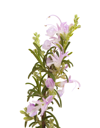 small twig of rosemary isolated on white background