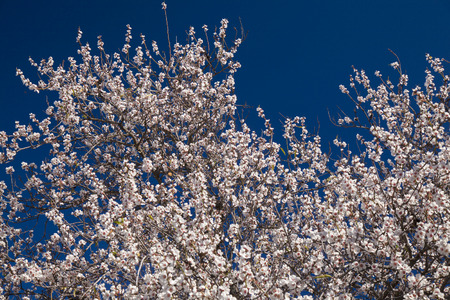 beautiful background of flowering almonds, Gran Canaria, January