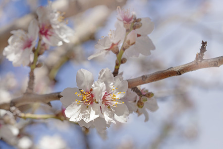 beautiful natural floral background of flowering almond trees 스톡 콘텐츠