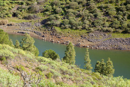 Gran Canaria,  February, a flock of sheep going down steep slope to drink from reservoir   Presa de Candelaria Stock Photo