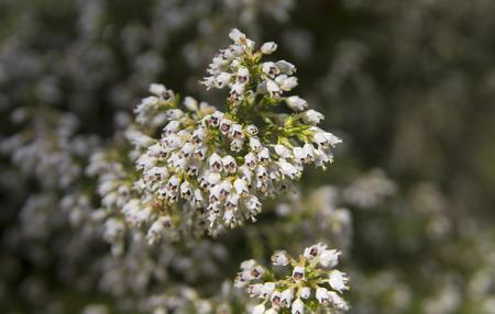 Flora of Gran Canaria - flowering branch of Erica arborea,tree heath