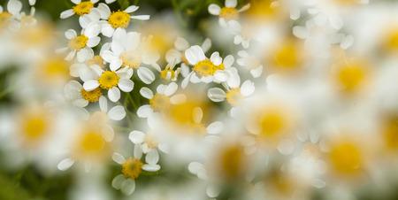 flora of Gran Canaria -  Tanacetum ferulaceum, background