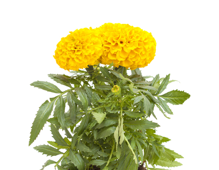 Tagetes erecta, Mexican marigold marigold isolated on white background