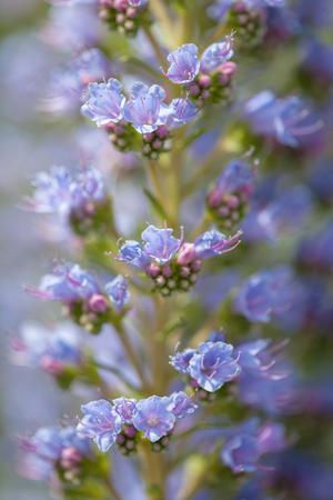 Flora of Gran Canaria - Echium callithyrsum, blue bugloss of Gran Canaria, background Stock fotó