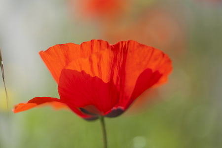 flora of Gran Canaria - red poppy macro natural background Stock Photo