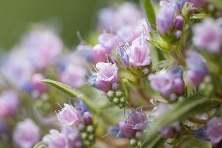 Flora of Gran Canaria - Echium callithyrsum, blue bugloss of Gran Canaria, background, pink  variety