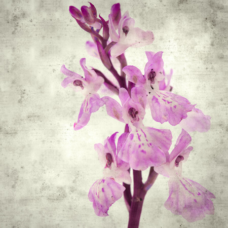 textured stylish old paper background, square, with  Orchis patens subspecies canariensis Imagens - 118953243