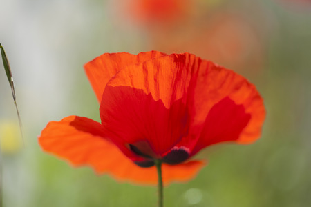 flora of Gran Canaria - red poppy macro natural background