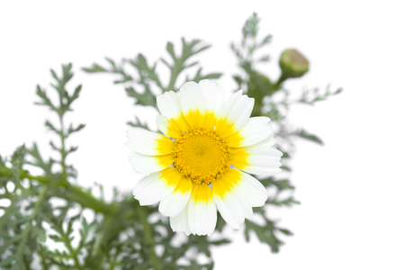 flora of Gran Canaria - white and yellow garland chrysanthemum isolated on white