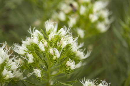 flora of Tenerife - Echium leucophaeum white bugloss of Anaga, endemic