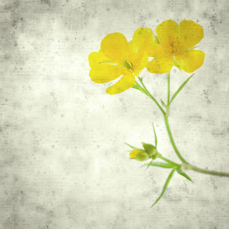 textured stylish old paper background, square, with Ranunculus cortusifolius, Canary Buttercup Imagens - 118953484
